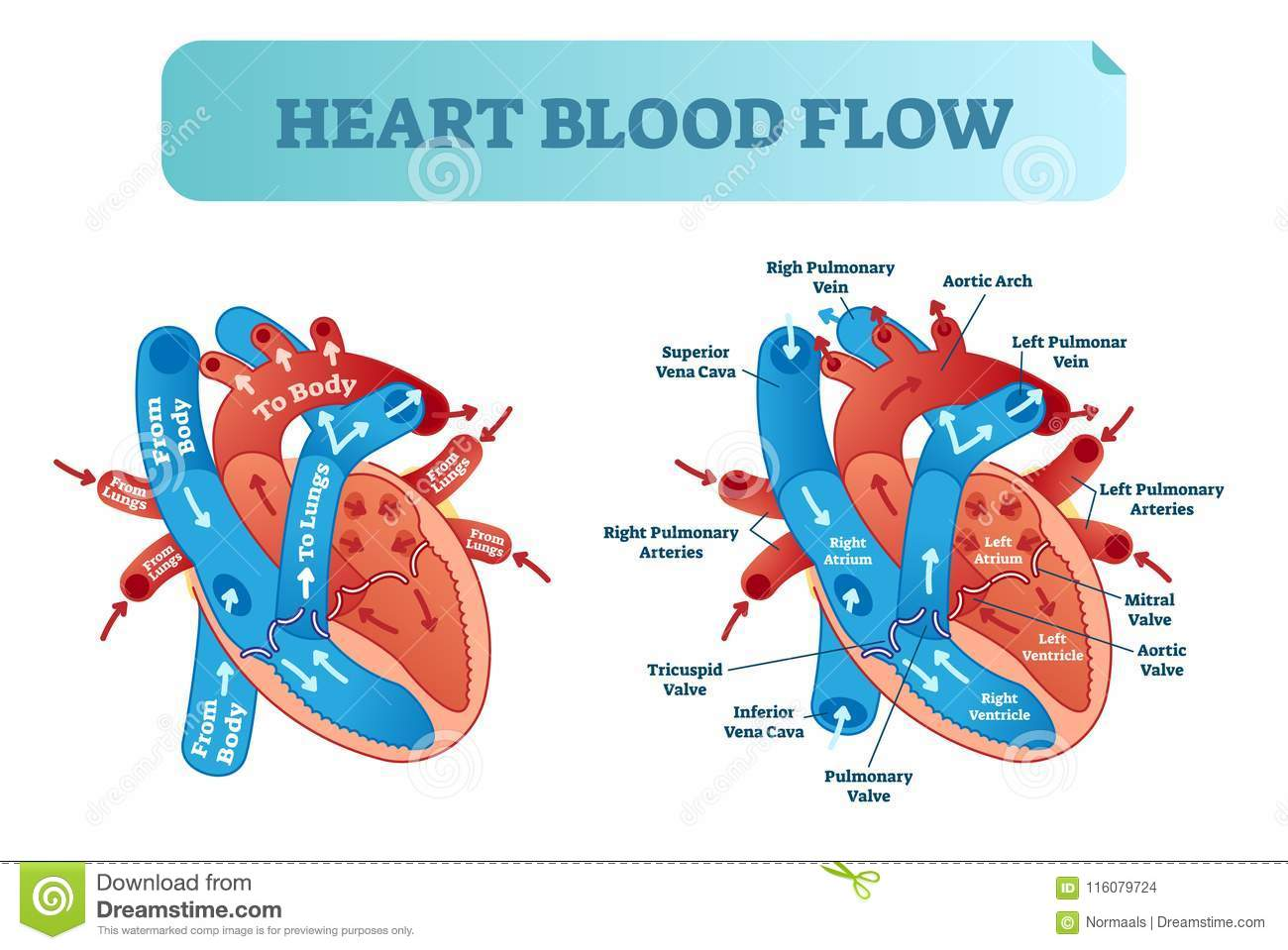 hight resolution of heart blood flow circulation anatomical diagram with atrium and ventricle system vector illustration labeled medical poster