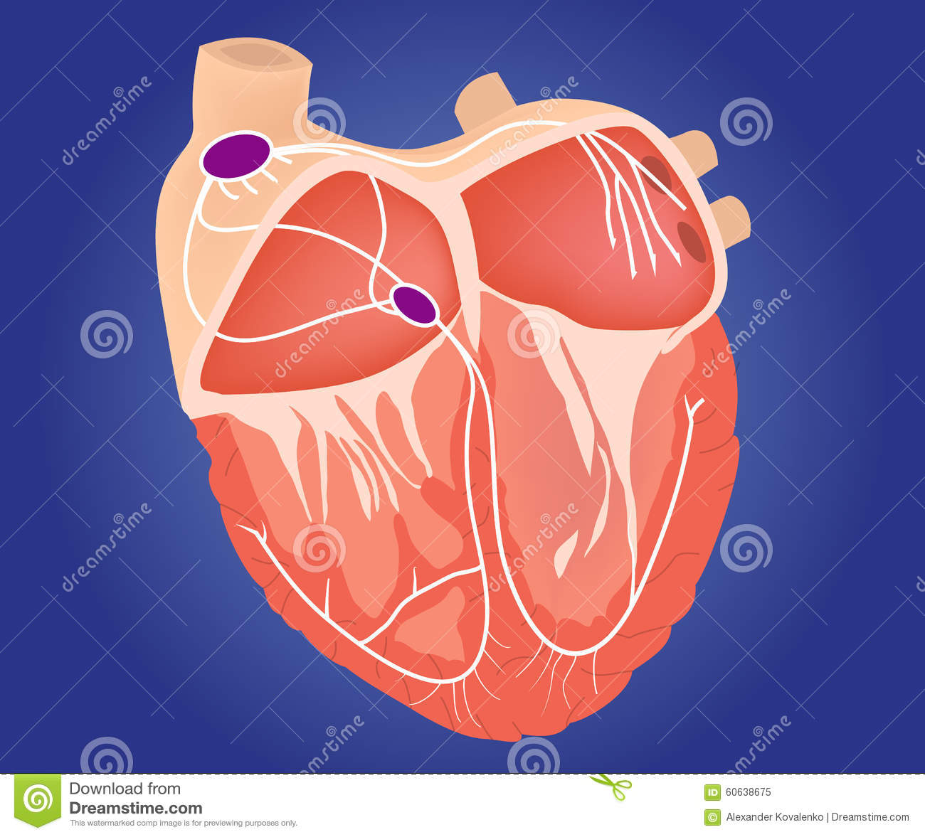 cardiac conduction system diagram jl w7 13 5 wiring cartoons illustrations and vector stock images