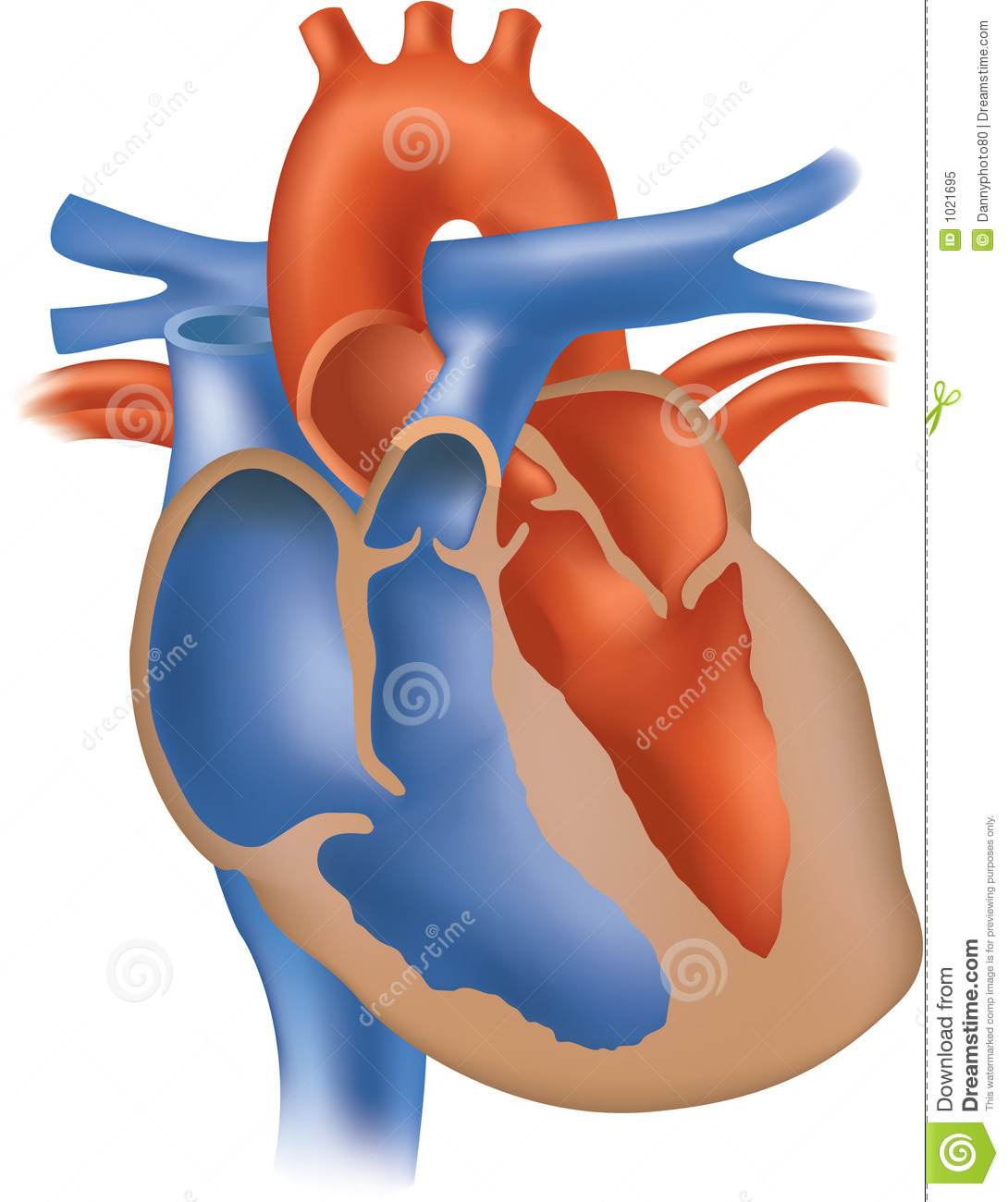 unlabeled heart diagram cross section cat5 wiring faceplate illustration stock