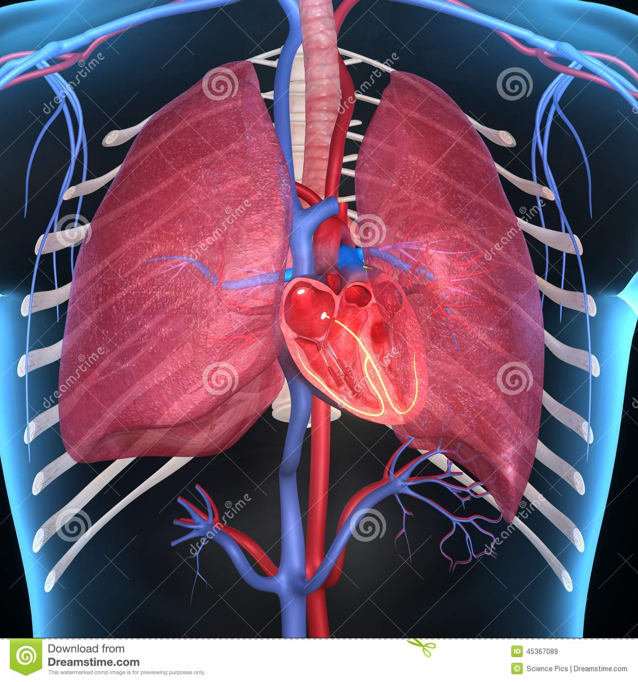 lungs human anatomy diagram gentec phase converter wiring heart with stock illustration - image: 45367089