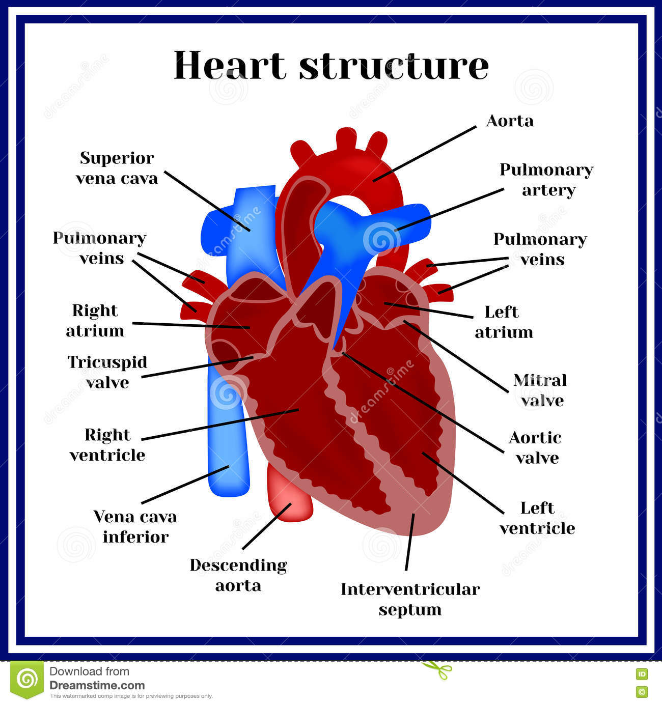 Heart Structure The Organ Of The Circulatory System Stock