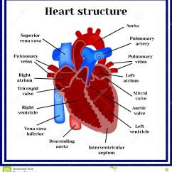 Inner Heart Diagram Ac Motor Circuit Wiring Diagrams Structure The Organ Of Circulatory System Stock