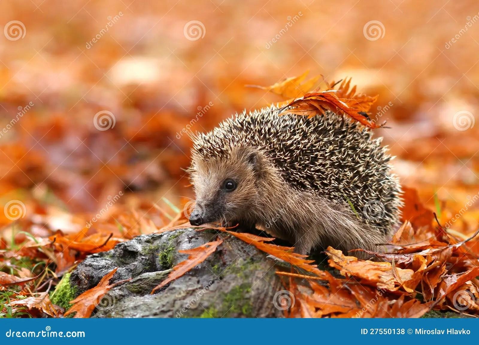 Fall Hedgehog Wallpaper Hedgehog Royalty Free Stock Photos Image 27550138