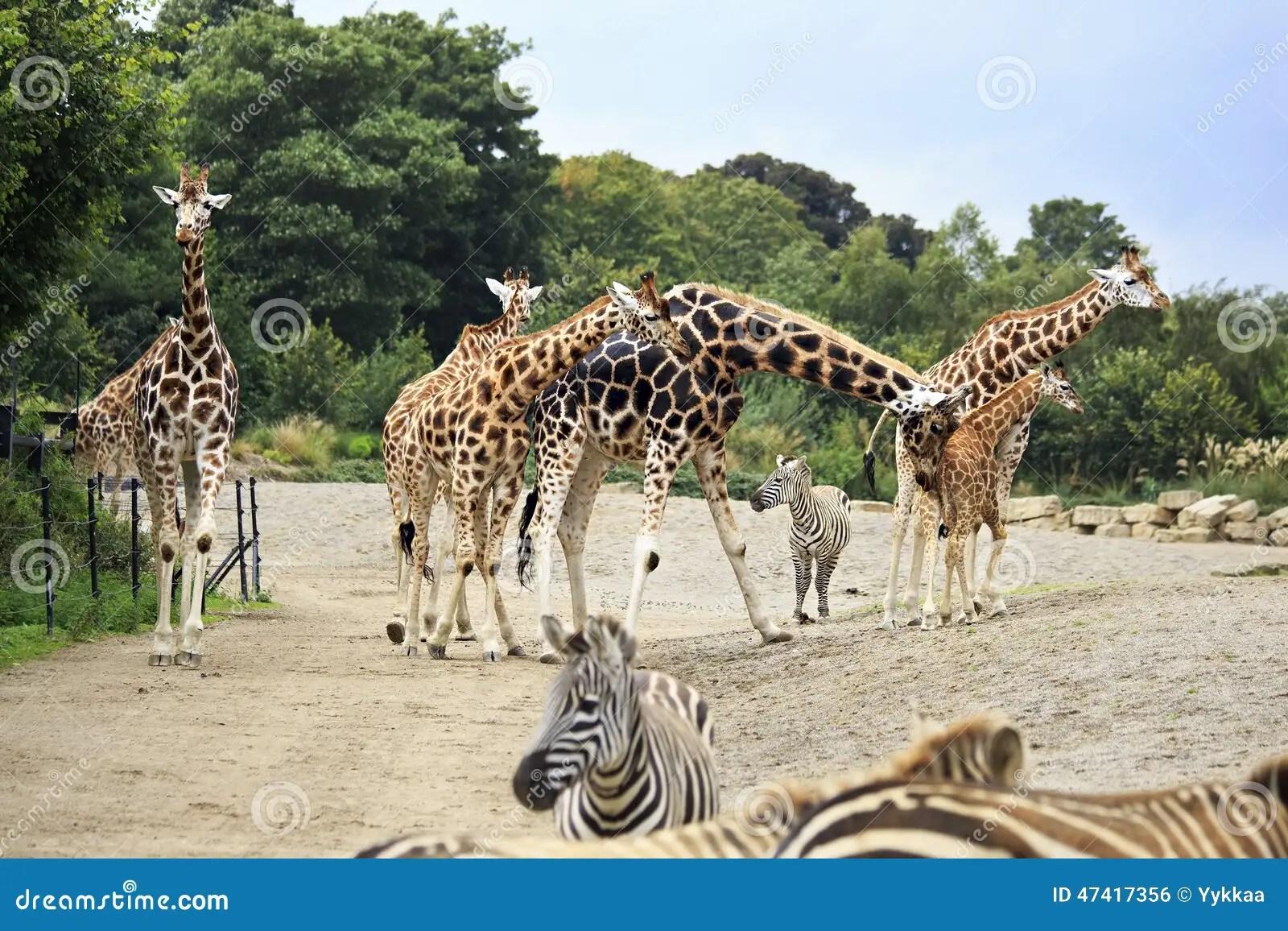 Herd Of Giraffes And Zebras Stock Photo