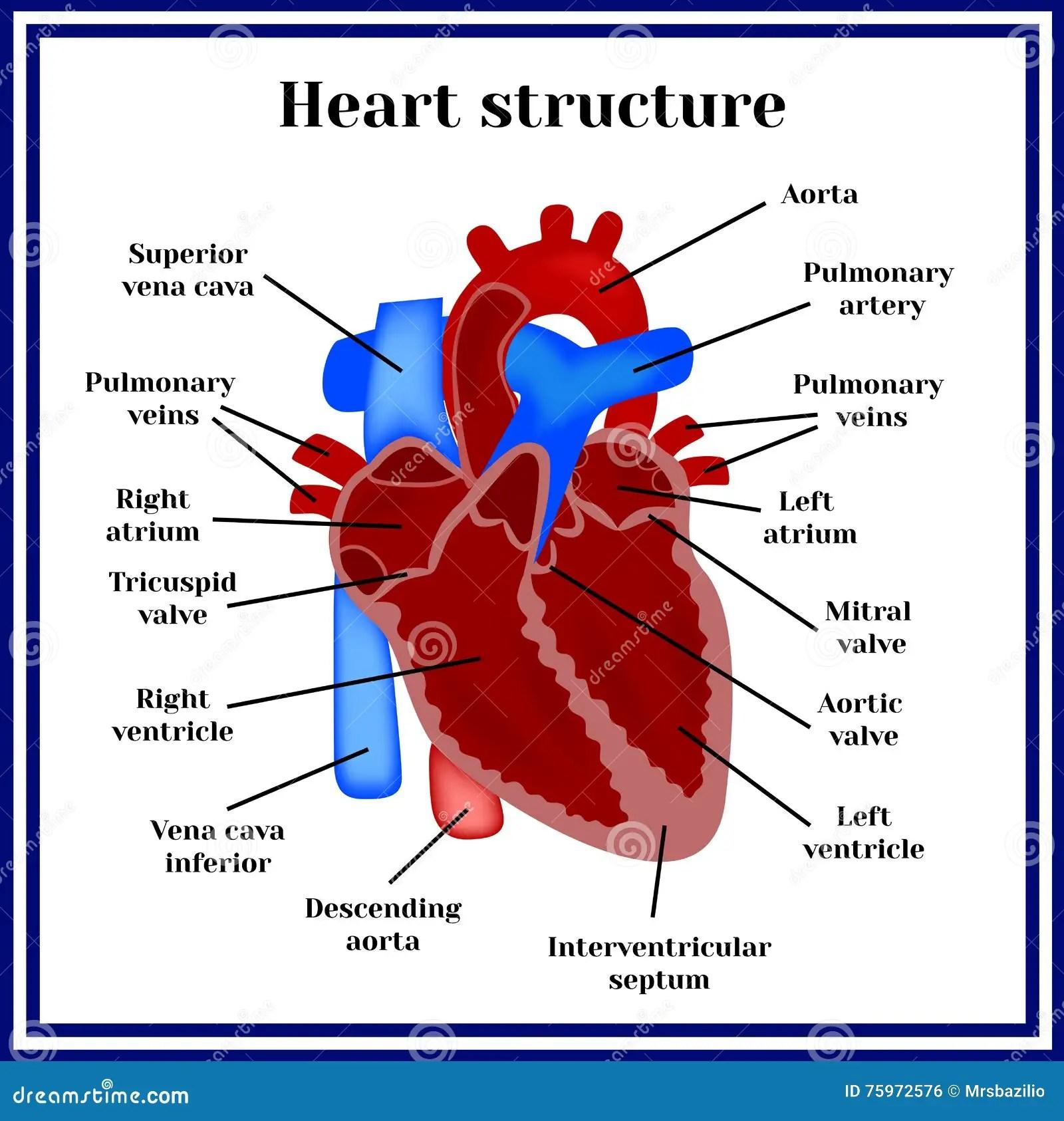 Herzstruktur Das Organ Des Kreislaufsystem Vektor