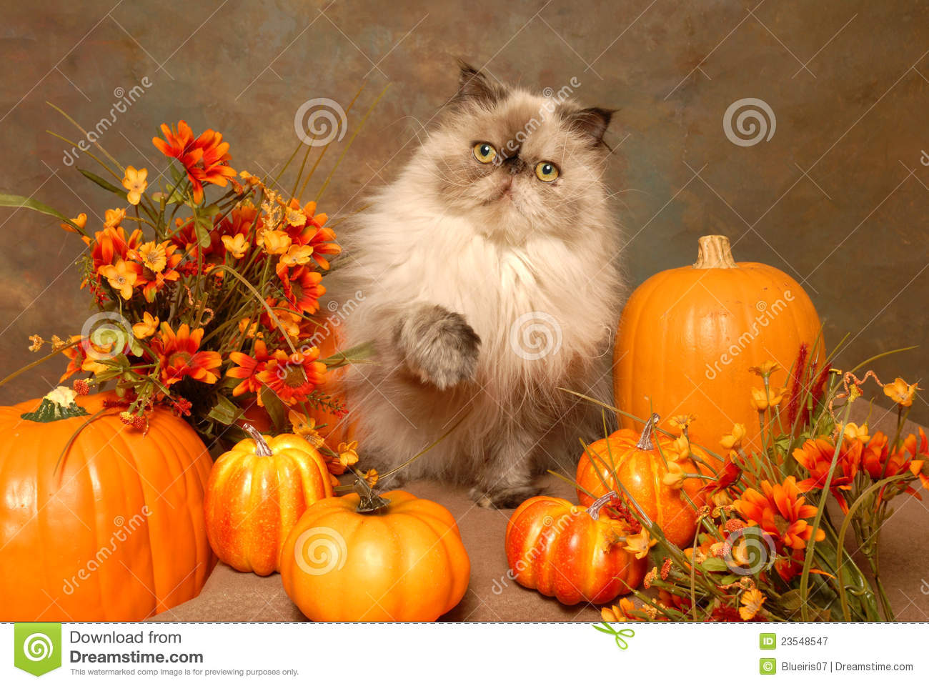Nove Ber Fall Wallpaper For Computer A Himalayan Cat With Autumn Flowers And Pumkins Stock