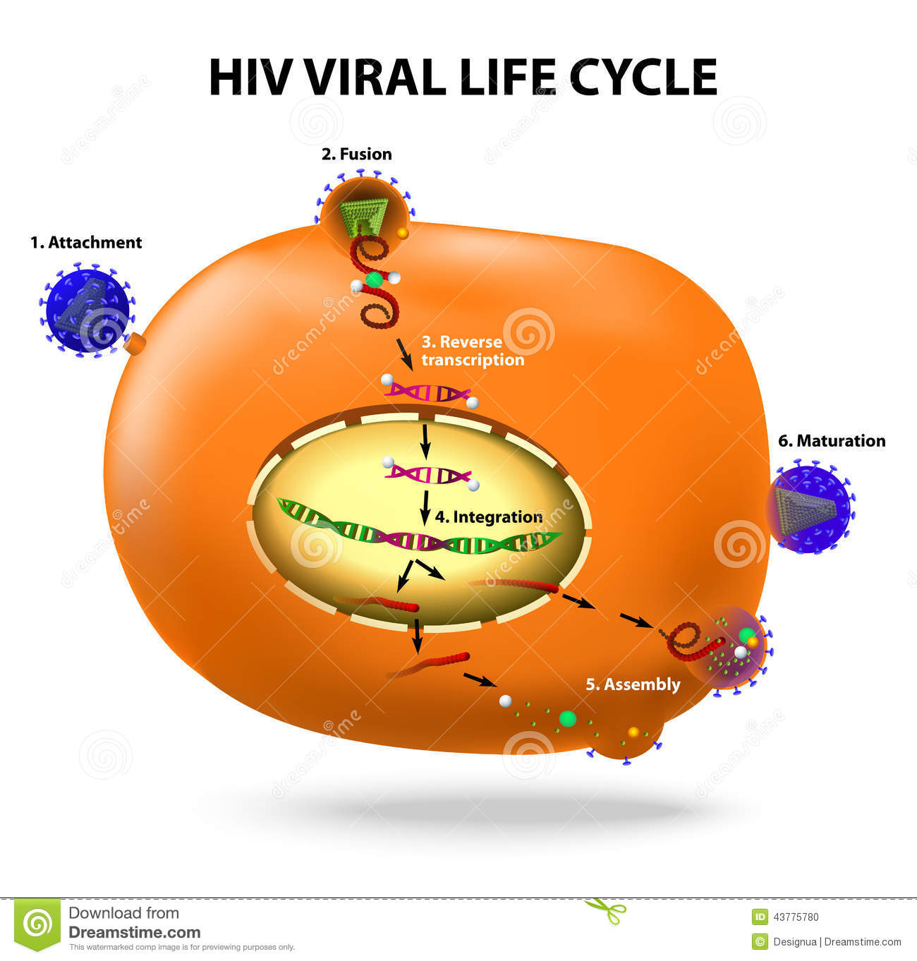 Hiv Replication Cycle Stock Vector Illustration Of