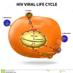 Basic Virus Diagram 2007 Klr 650 Wiring Hiv Replication Cycle Stock Vector Image Of Integration
