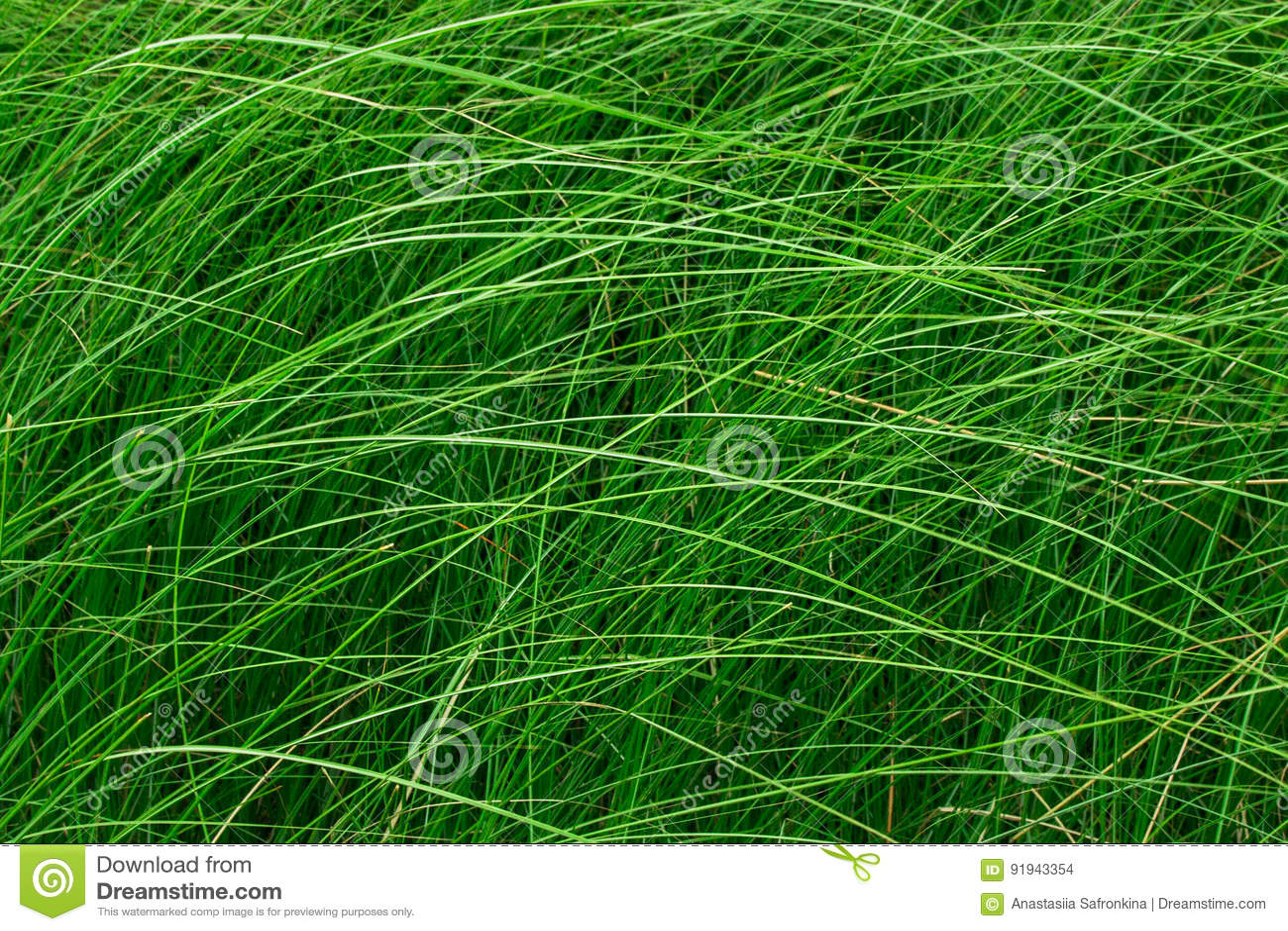 Hohes Gras Garten Miscanthus Pflanzen Als Gartenzaun