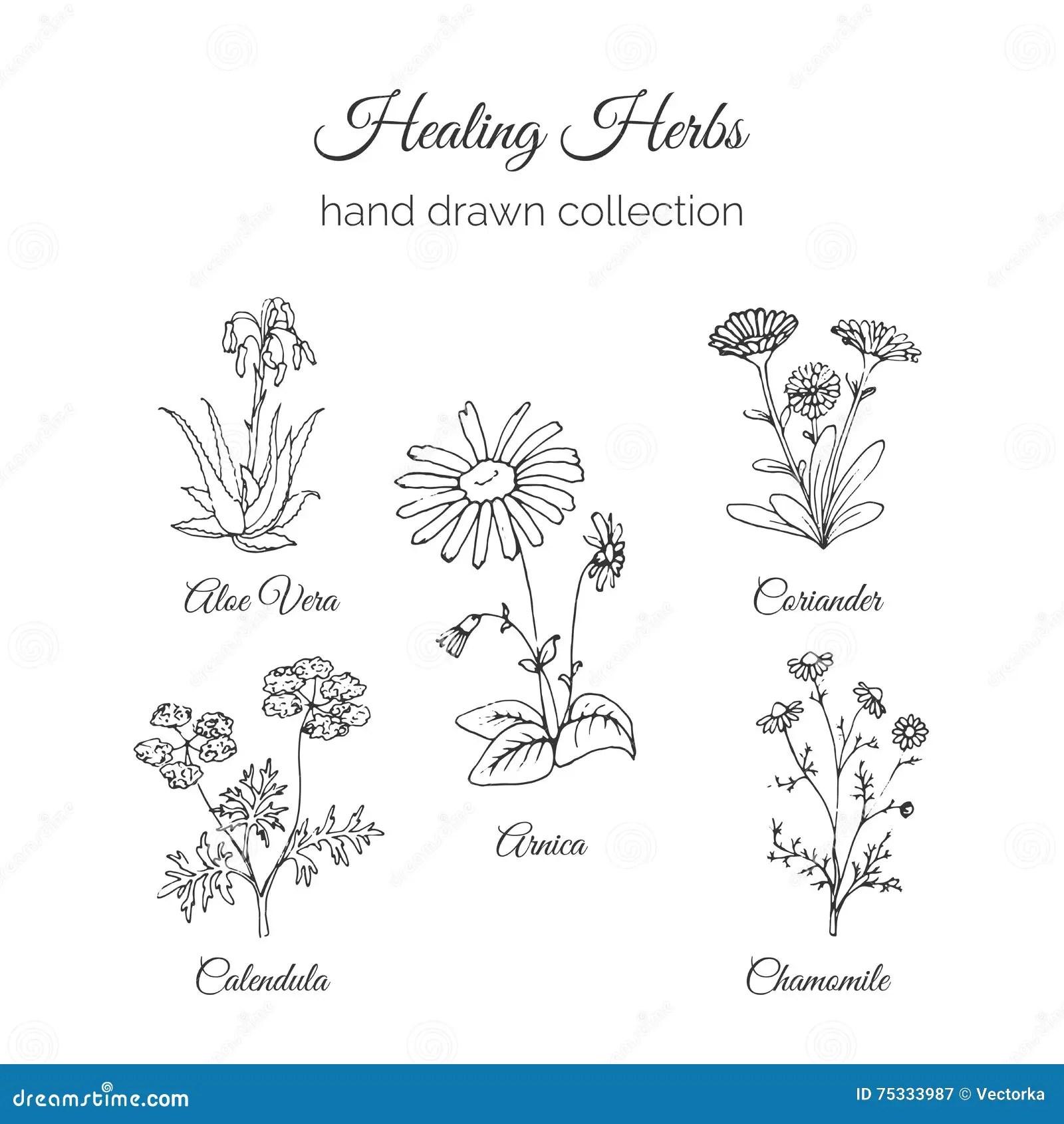 Holistic Medicine. Healing Herbs Illustration. Aloe Vera