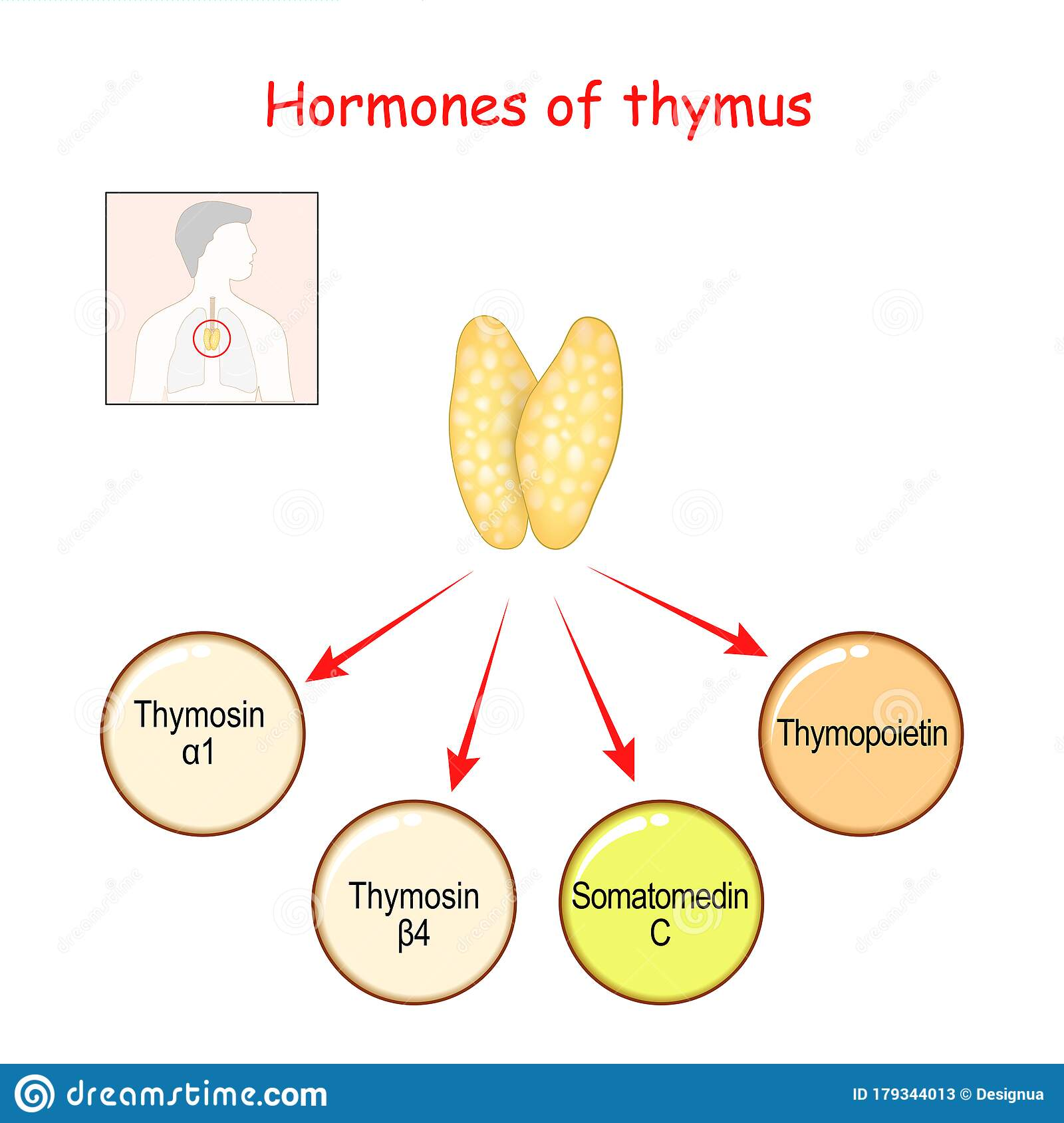 Hormones Produced By The Thymus Gland Stock Vector ...