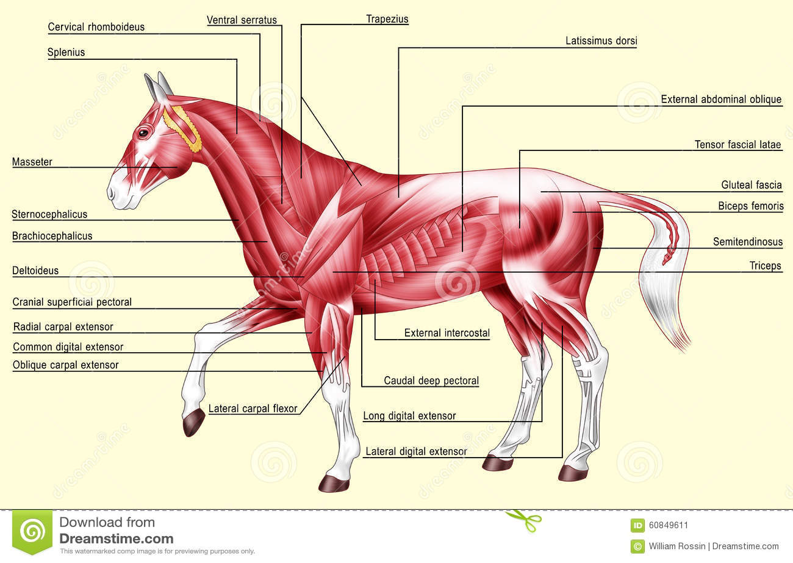 horse anatomy diagram muscles ididit steering column wiring stock illustration