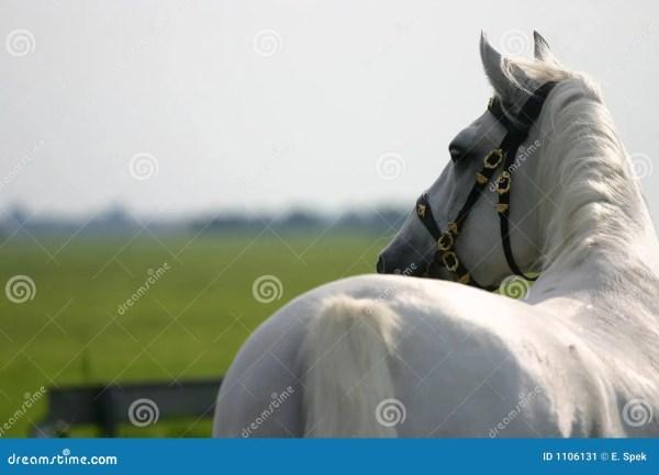 Horse Stock Of Classic Iberian