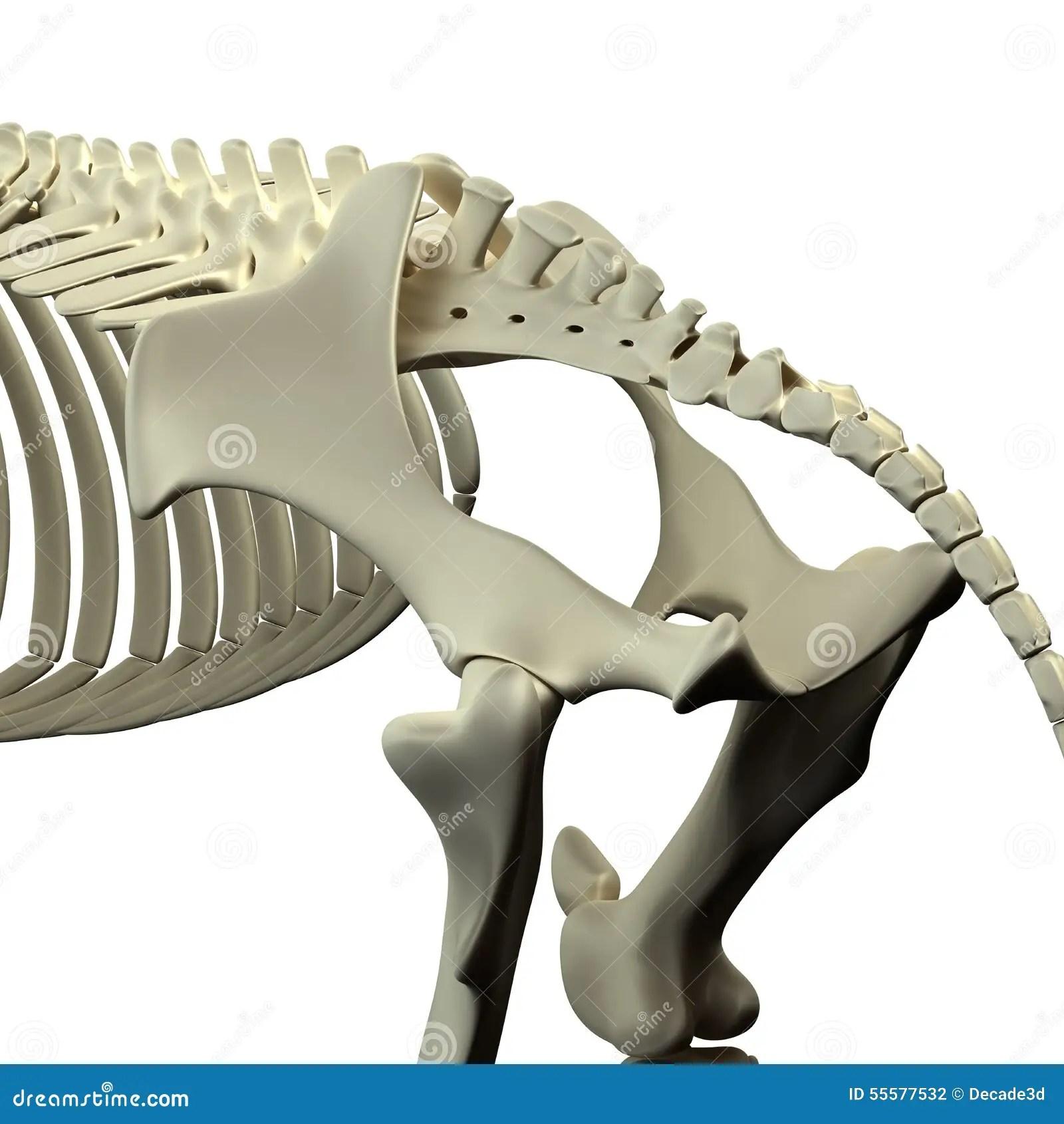 Magnificent Dog Pelvis Anatomy Inspiration - Human Anatomy Images ...
