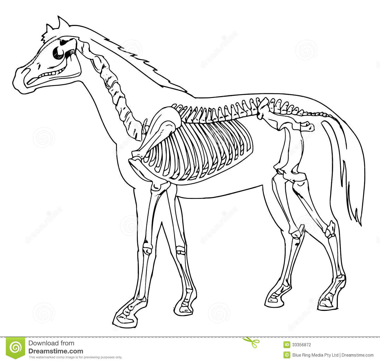 Horse Skeleton Stock Photography
