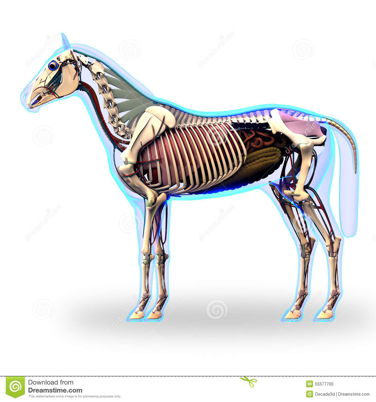 horse respiratory system diagram 2003 ford focus svt radio wiring stomach tract