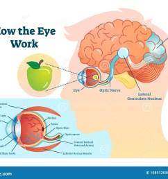 how eye work medical illustration eye brain diagram [ 1300 x 1054 Pixel ]