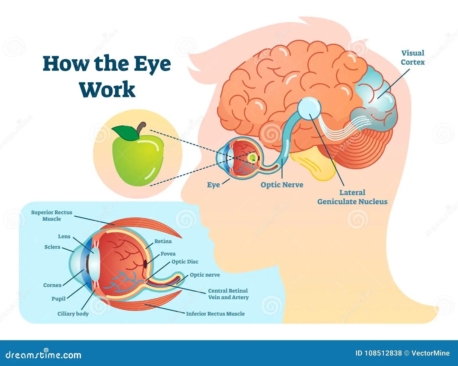 hight resolution of how eye work medical illustration eye brain diagram