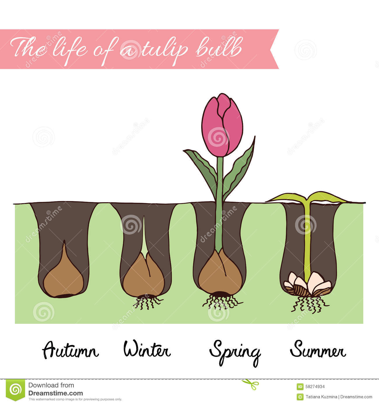 How To Plant Tulips Stock Vector Illustration Of Nature