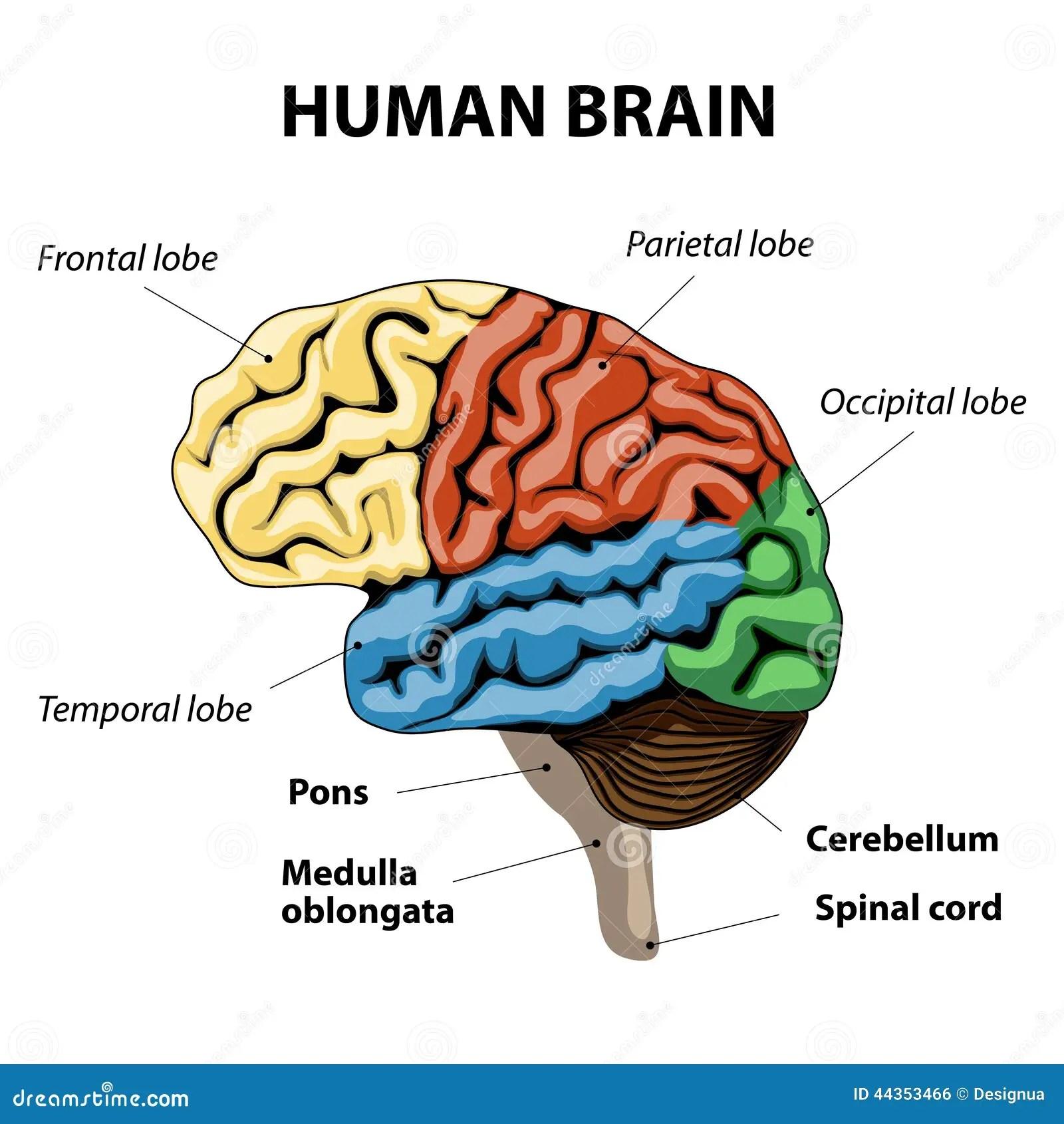 Humain Brain Anatomy Illustration De Vecteur Illustration