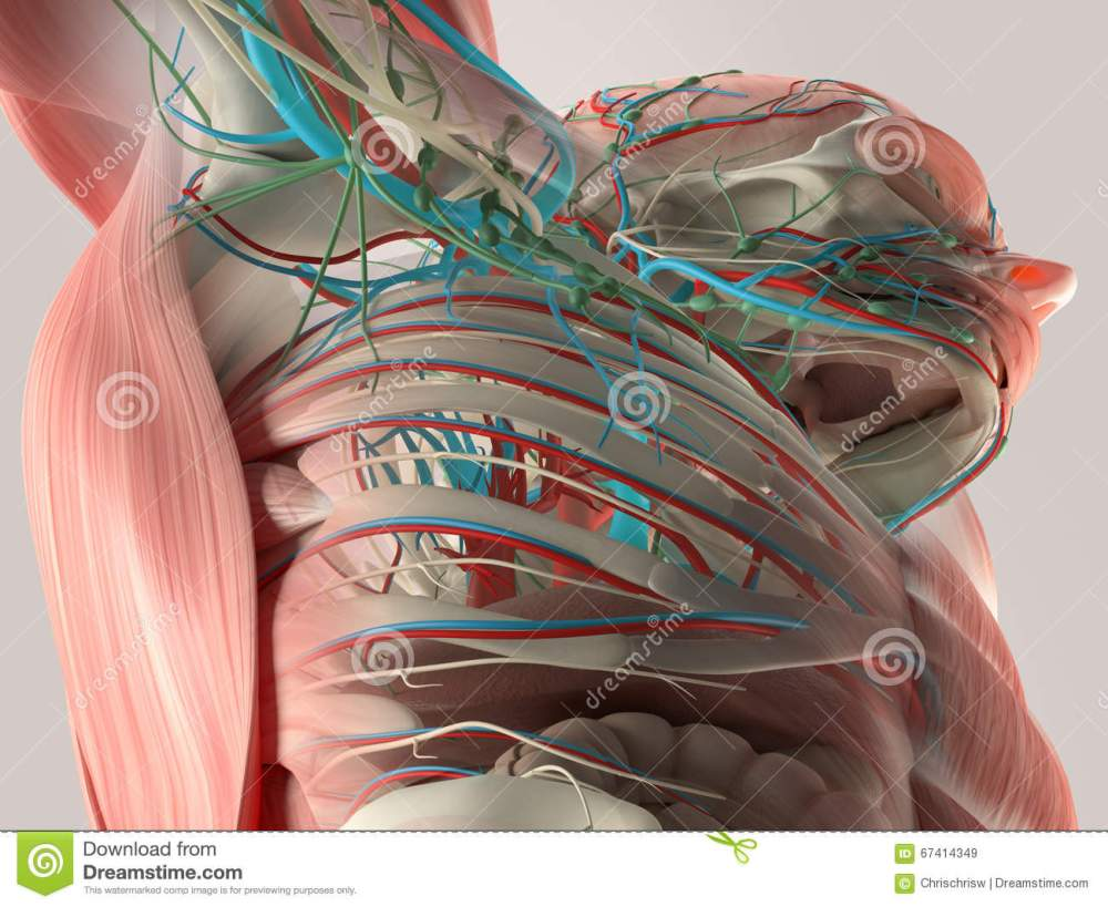 medium resolution of human anatomy detail of back spine bone structure muscle on plain studio
