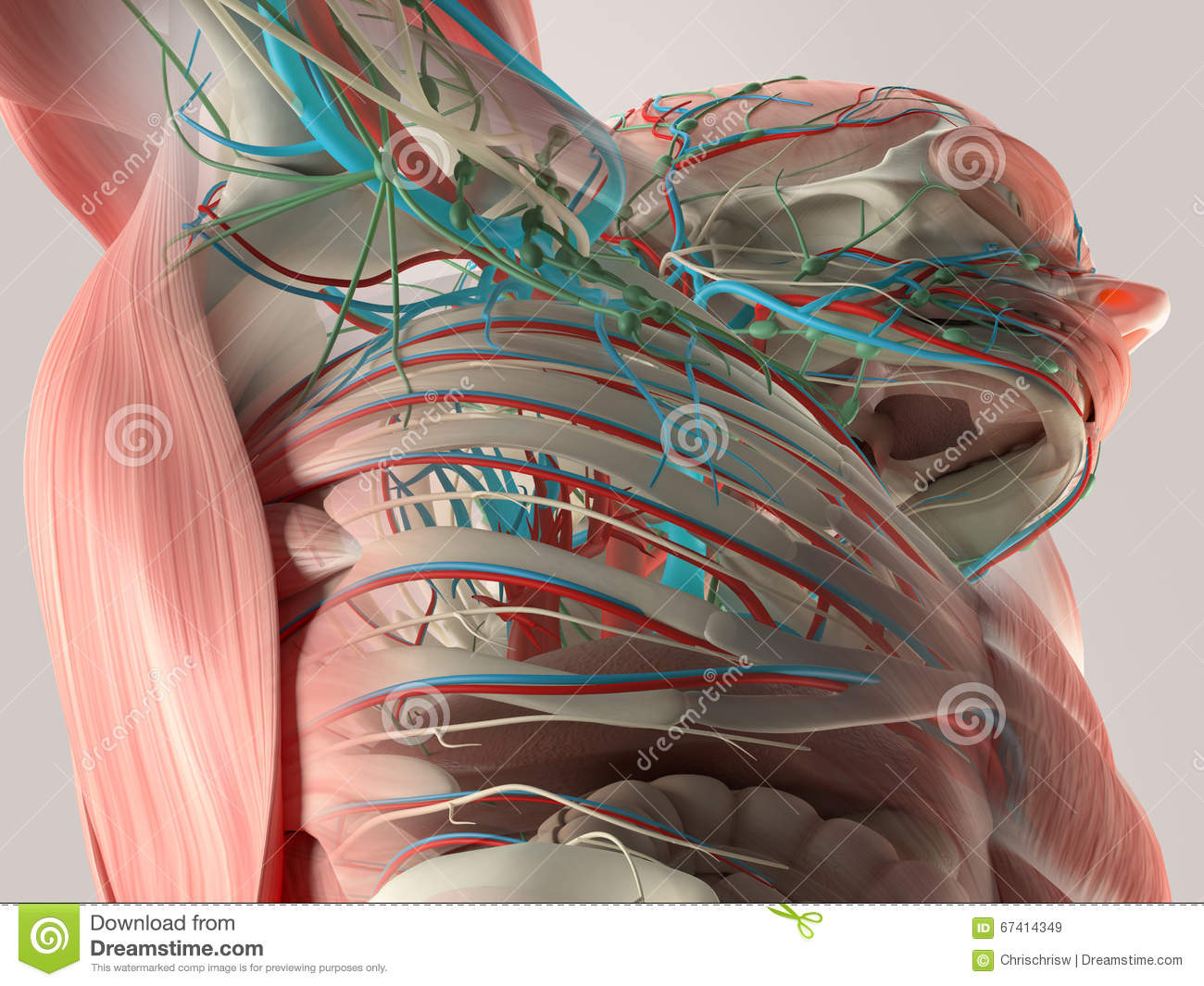 hight resolution of human anatomy detail of back spine bone structure muscle on plain studio