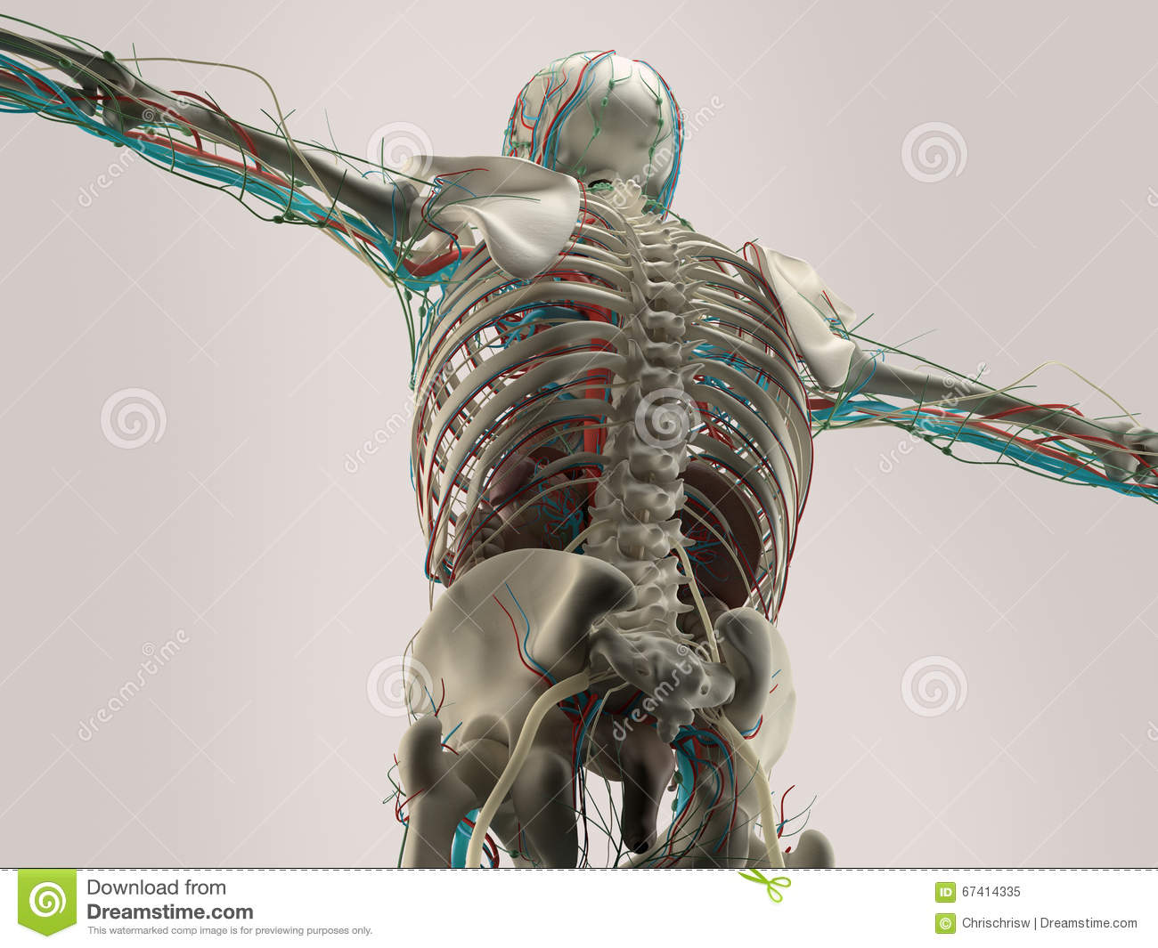 hight resolution of human anatomy detail of shoulder bone structure on plain studio background human anatomy detail