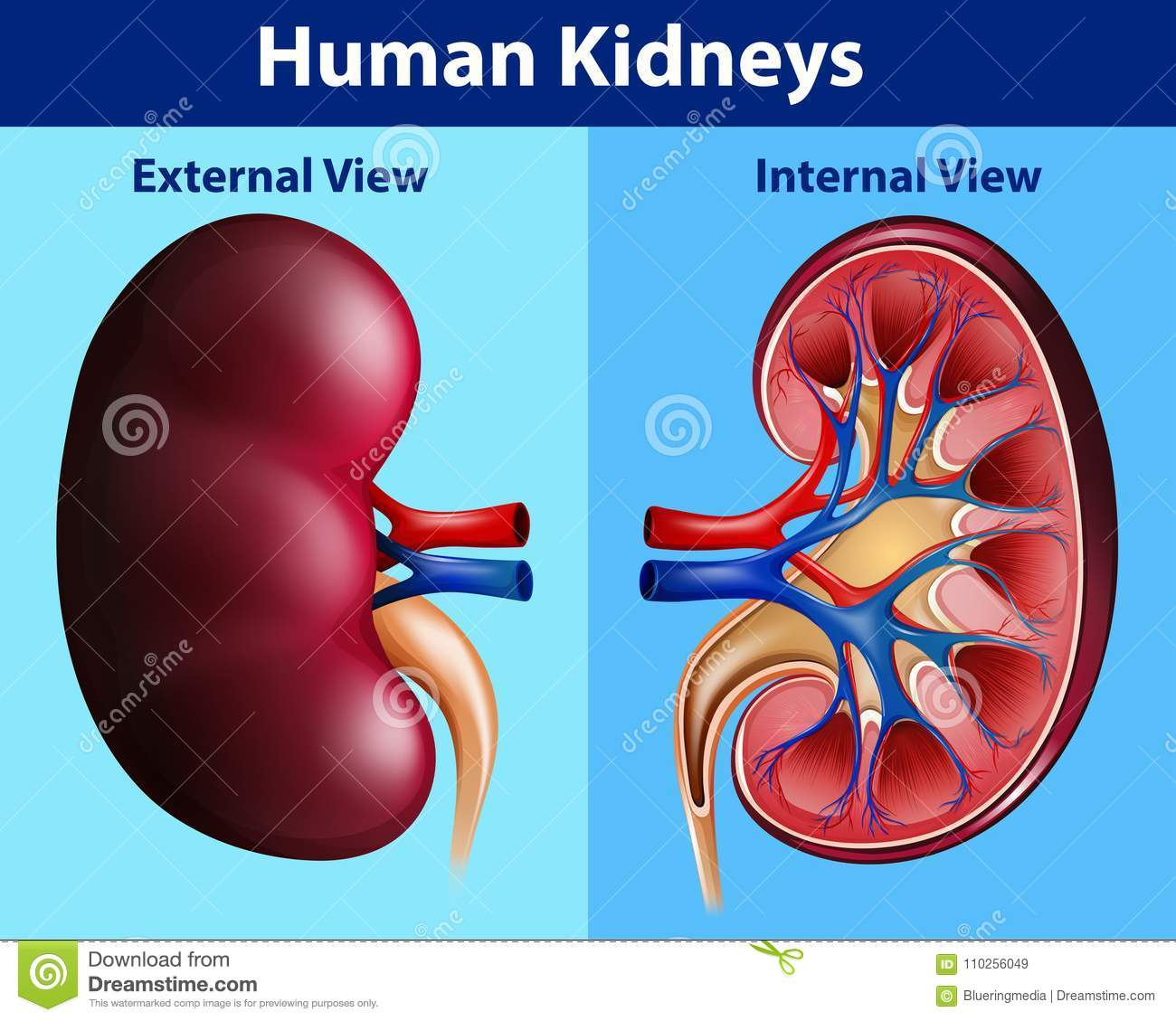 diagram of where kidneys are 97 f250 7 3 wiring human anatomy with stock vector illustration