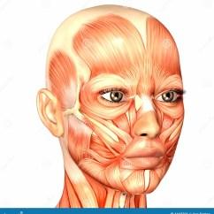 Face Muscles Diagram Underfloor Heating Wiring Combi Boiler Human Anatomy Stock Illustration Of