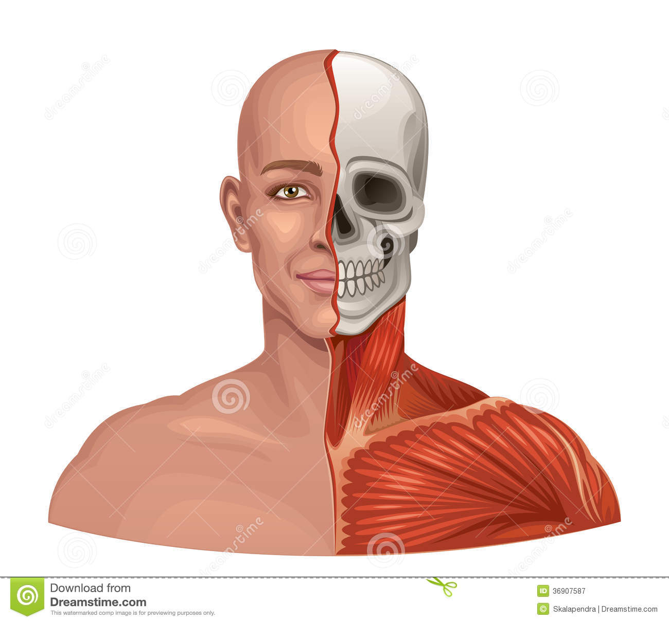 Human Anatomy Facial Muscles And Skull Stock Vector