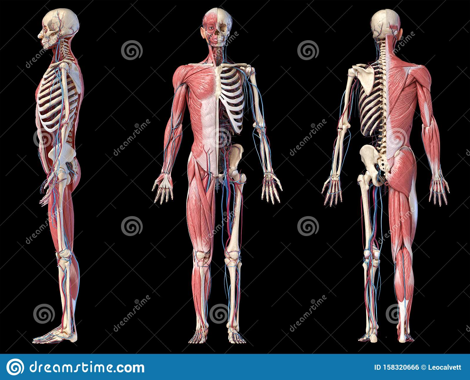 3d Illustration Of Human Full Body Skeleton With Muscles