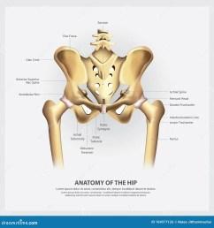 human anatomy of the hip vector illustration [ 1300 x 1390 Pixel ]