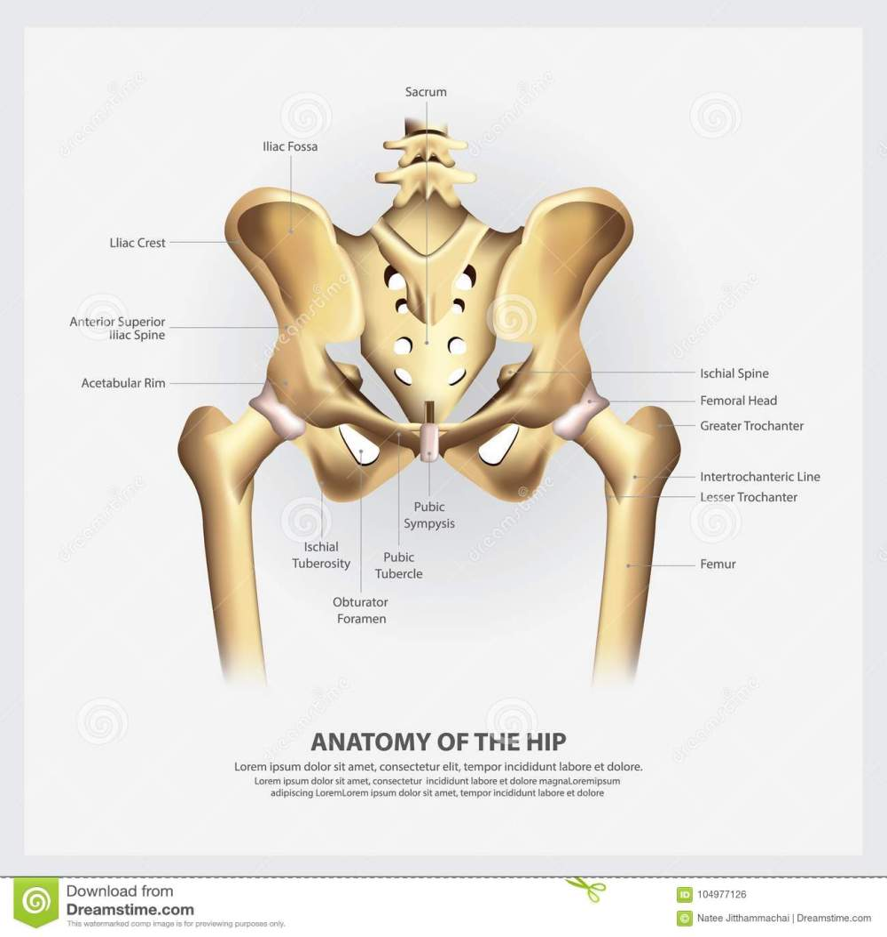 medium resolution of human anatomy of the hip vector illustration