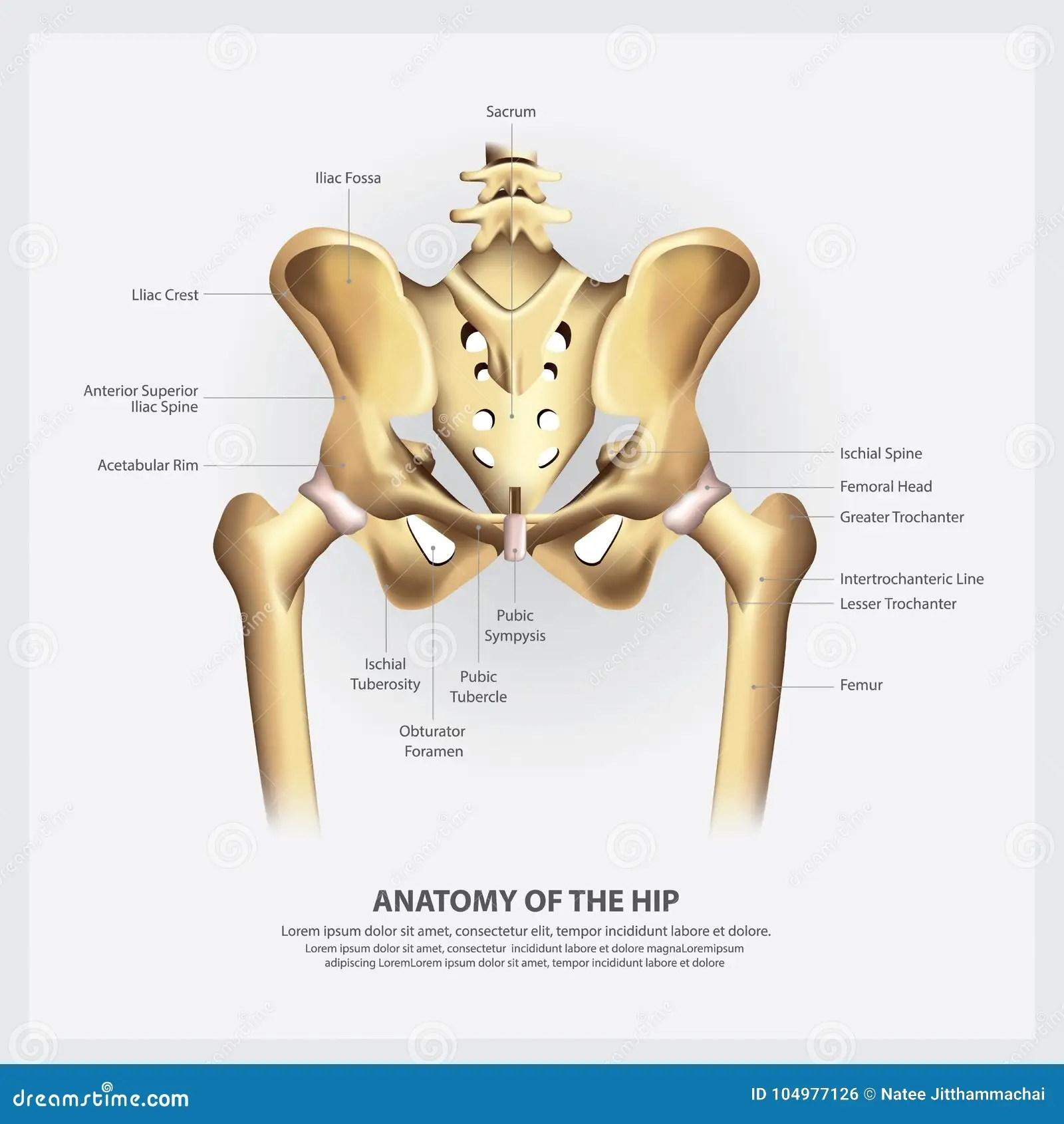 hight resolution of human anatomy of the hip vector illustration