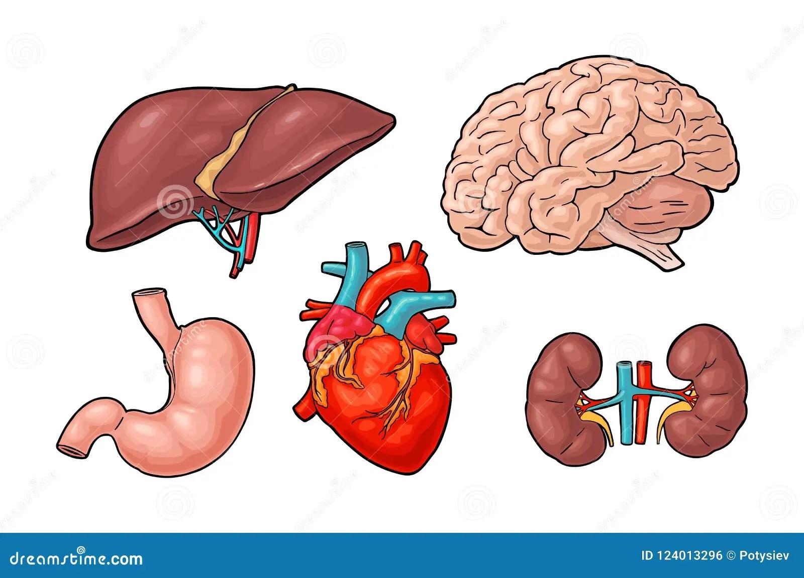 Human Anatomy Organs Brain Kidney Heart Liver Stomach
