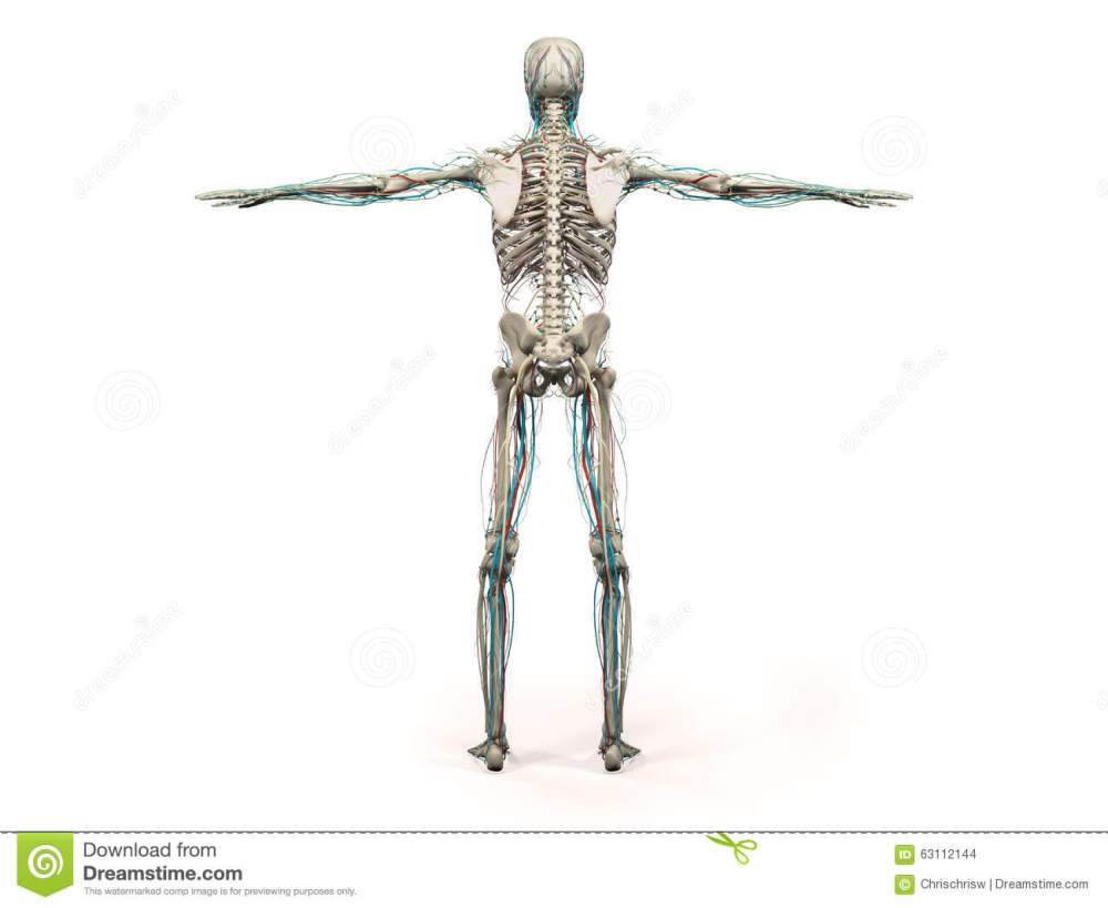 medium resolution of human anatomy showing back full body head shoulders and torso bone structure and vascular system on a plain white background