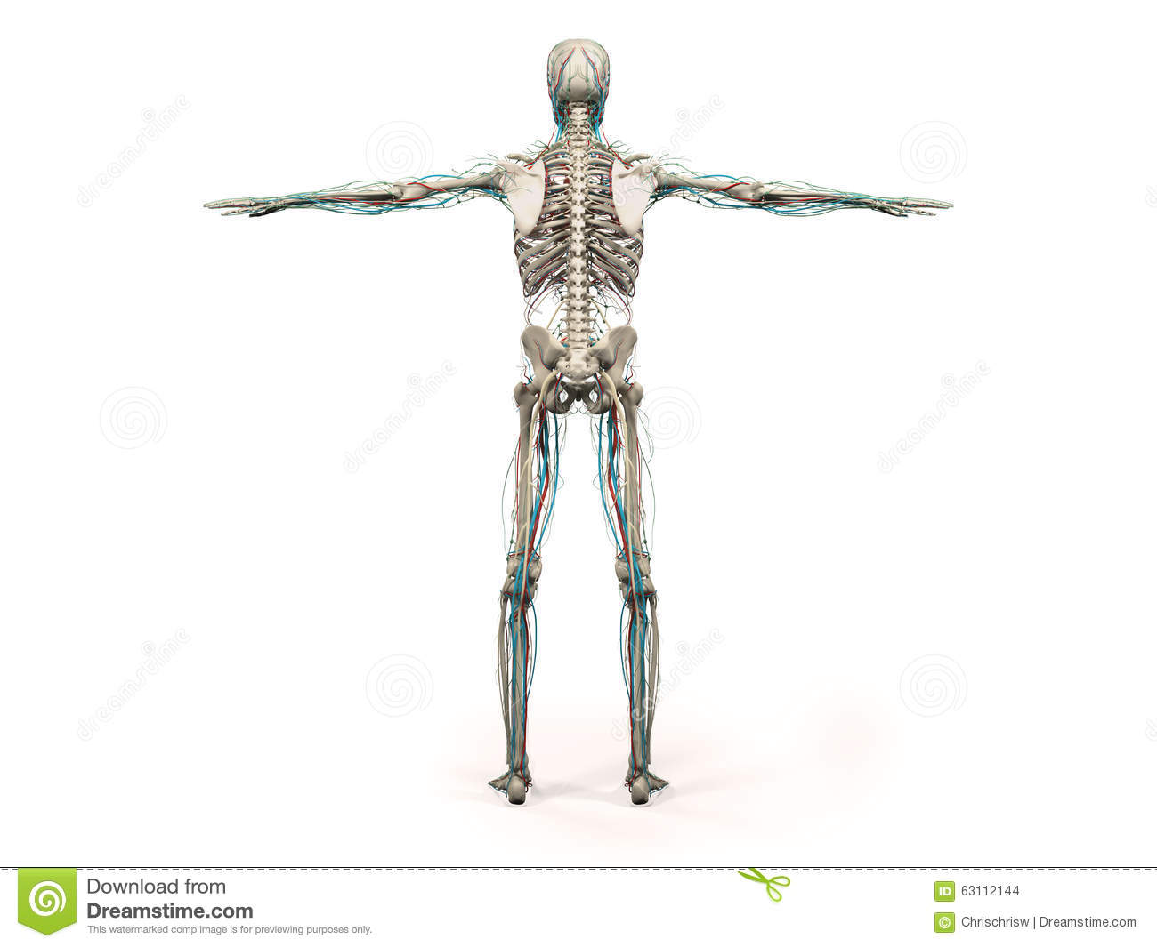 hight resolution of human anatomy showing back full body head shoulders and torso bone structure and vascular system on a plain white background