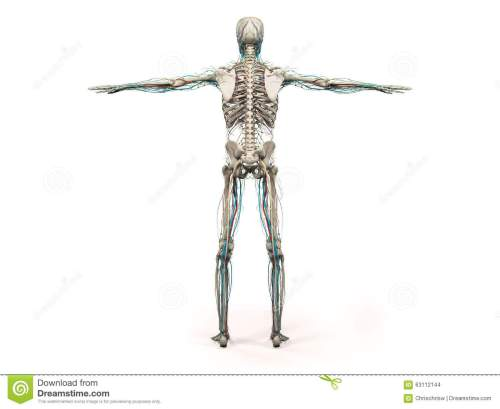small resolution of human anatomy showing back full body head shoulders and torso bone structure and vascular system on a plain white background