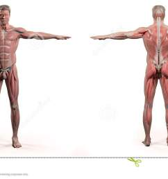 human anatomy showing front and back full body face head shoulders and torso bone structure and vascular system on a plain white background  [ 1300 x 745 Pixel ]