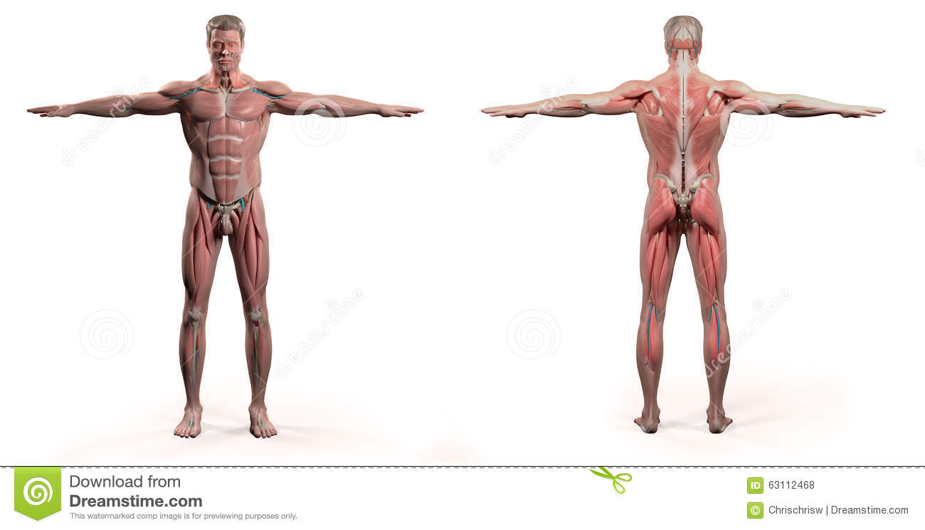 hight resolution of human anatomy showing front and back full body face head shoulders and torso bone structure and vascular system on a plain white background