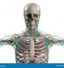 human anatomy showing head shoulders and torso bone structure  [ 1300 x 1065 Pixel ]