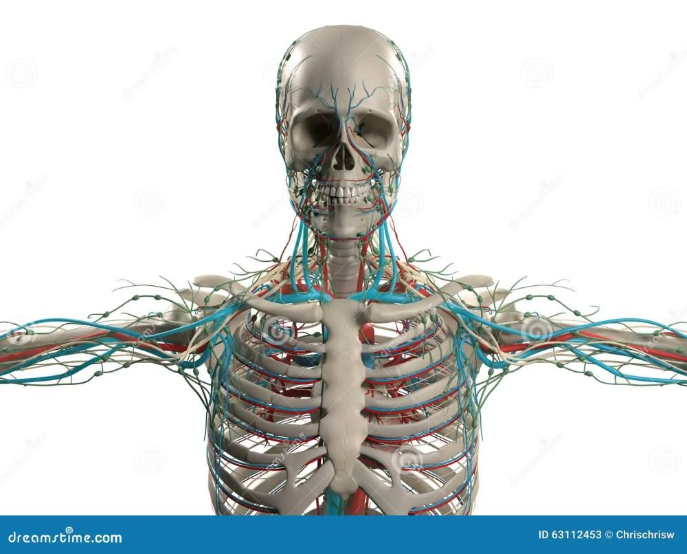 medium resolution of human anatomy showing head shoulders and torso bone structure