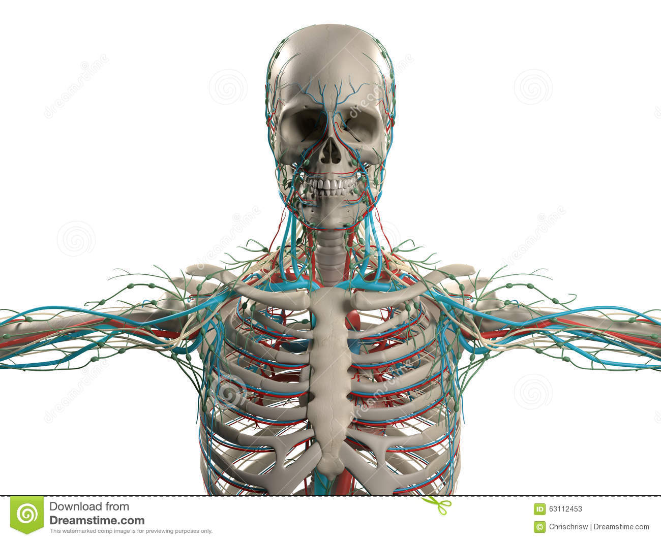 hight resolution of human anatomy showing head shoulders and torso bone structure
