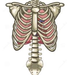 human anatomy torso skeleton isolated white [ 1009 x 1300 Pixel ]