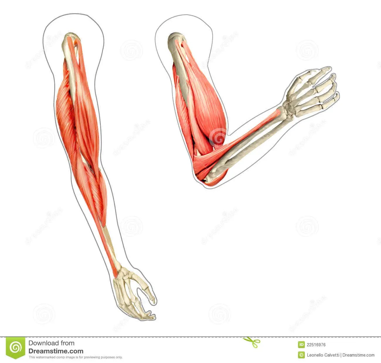 hight resolution of human arms anatomy diagrams