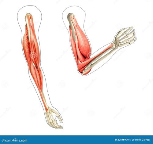 small resolution of human arms anatomy diagrams