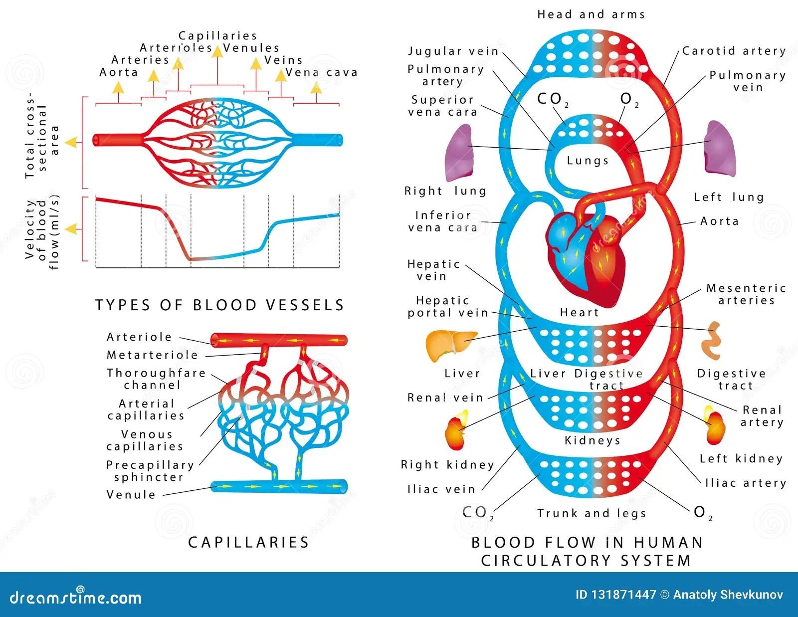 Human Bloodstream Stock Vector Illustration Of Organ