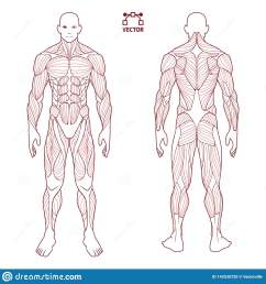 human body anatomy male man front and back muscular system of photos human body diagram contour on the human body medical body [ 1600 x 1689 Pixel ]