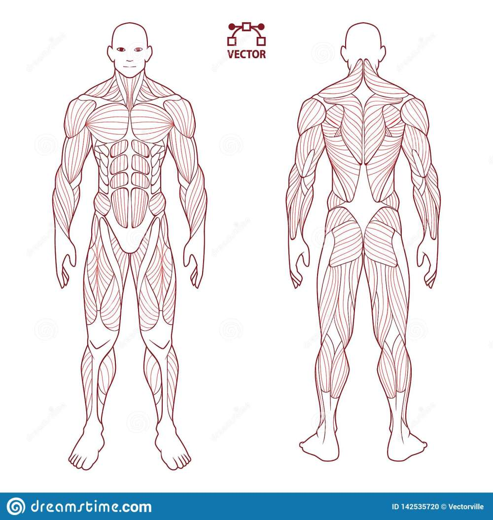 medium resolution of human body anatomy male man front and back muscular system of photos human body diagram contour on the human body medical body