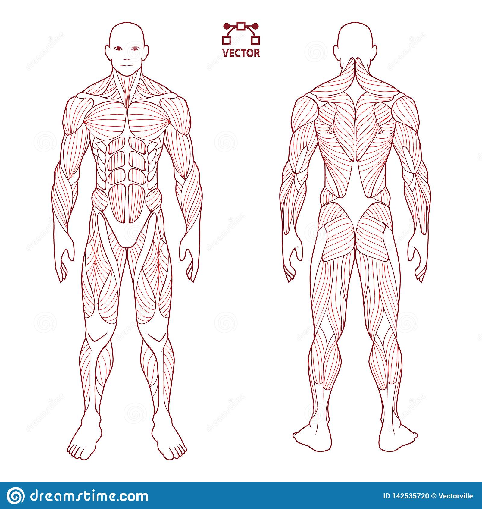 hight resolution of human body anatomy male man front and back muscular system of photos human body diagram contour on the human body medical body